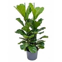 Фикус Лира tuft Диаметр горшка — 29 см Высота растения — 120 см