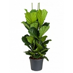 Фикус Лира tuft Диаметр горшка — 35 см Высота растения — 140 см