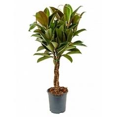Фикус melany stem braided Диаметр горшка — 19 см Высота растения — 85 см