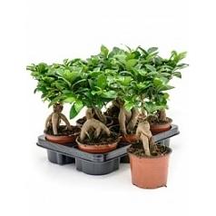 Фикус micr. ginseng bonsai Диаметр горшка — 12 см Высота растения — 30 см