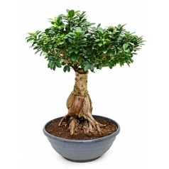 Фикус micr. ginseng 8000-10000 gram ginseng Диаметр горшка — 50 см Высота растения — 90 см