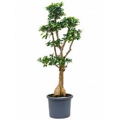 Фикус microcarpa compacta (170-180) stem branched Диаметр горшка — 40 см Высота растения — 170 см