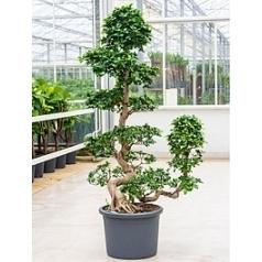 Фикус microcarpa compacta (170-190) s-stem+cascade Диаметр горшка — 45 см Высота растения — 170 см