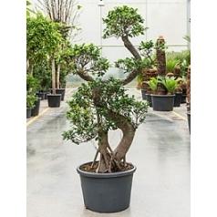 Фикус microcarpa compacta bonsai s-stem (200-220) Диаметр горшка — 60 см Высота растения — 200 см
