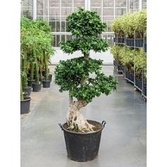 Фикус microcarpa compacta bonsai s-stem Диаметр горшка — 45 см Высота растения — 210 см