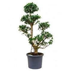 Фикус microcarpa compacta branched Диаметр горшка — 40 см Высота растения — 170 см