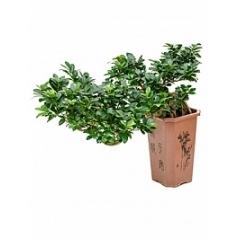 Фикус microcarpa compacta cascade Диаметр горшка — 27/27/35 см Высота растения — 70 см