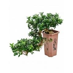 Фикус microcarpa compacta cascade Диаметр горшка — 27/27/43 см Высота растения — 80 см