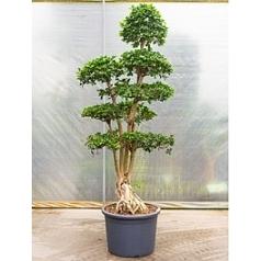 Фикус microcarpa compacta multi stem Диаметр горшка — 60 см Высота растения — 260 см