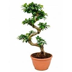 Фикус microcarpa compacta s-stam Диаметр горшка — 27 см Высота растения — 75 см