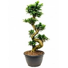 Фикус microcarpa compacta s-stam Диаметр горшка — 40 см Высота растения — 135 см