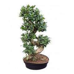 Фикус microcarpa compacta s-stam Диаметр горшка — 35 см Высота растения — 105 см