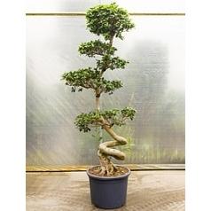 Фикус microcarpa compacta s-stem/bonsai Диаметр горшка — 60 см Высота растения — 260 см