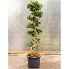 Фикус microcarpa compacta s-stem Диаметр горшка — 45 см Высота растения — 200 см