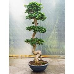 Фикус microcarpa compacta s-stem Диаметр горшка — 60 см Высота растения — 200 см