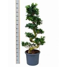 Фикус microcarpa compacta s-stem Диаметр горшка — 40 см Высота растения — 170 см