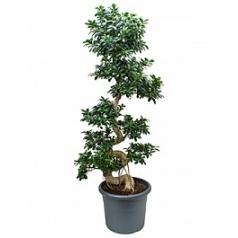 Фикус microcarpa compacta s-stem Диаметр горшка — 50 см Высота растения — 190 см