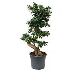 Фикус microcarpa compacta s-stem Диаметр горшка — 31 см Высота растения — 110 см