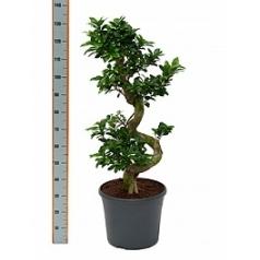 Фикус microcarpa compacta s-stem Диаметр горшка — 35 см Высота растения — 130 см