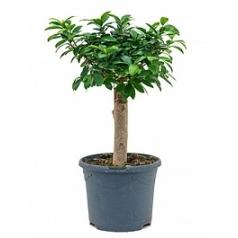 Фикус microcarpa compacta stem Диаметр горшка — 23 см Высота растения — 55 см