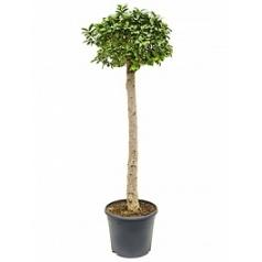 Фикус microcarpa compacta stem Диаметр горшка — 35 см Высота растения — 160 см