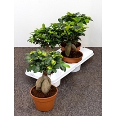 Фикус microcarpa ginseng Диаметр горшка — 17 см Высота растения — 40 см
