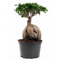 Фикус microcarpa ginseng Диаметр горшка — 20 см Высота растения — 45 см