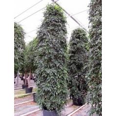Фикус midnight lady tuft Диаметр горшка — 60 см Высота растения — 450 см