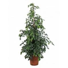 Фикус midnight lady tuft Диаметр горшка — 32 см Высота растения — 170 см
