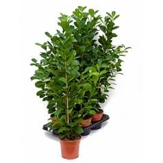 Фикус moclame tuft Диаметр горшка — 17 см Высота растения — 70 см