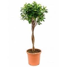 Фикус moclame stem braided Диаметр горшка — 26 см Высота растения — 95 см