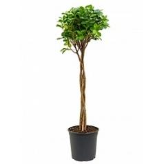 Фикус moclame stem braided Диаметр горшка — 27 см Высота растения — 125 см