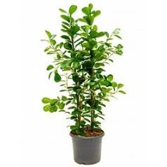 Фикус moclame tuft Диаметр горшка — 29 см Высота растения — 110 см