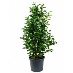 Фикус moclame tuft Диаметр горшка — 31 см Высота растения — 120 см