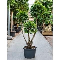 Фикус nitida compacta branched/multi crowns Диаметр горшка — 45 см Высота растения — 200 см