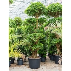 Фикус nitida compacta stem/multi crowns Диаметр горшка — 65 см Высота растения — 300 см