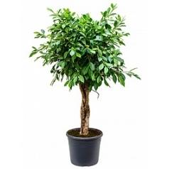 Фикус nitida stem braided Диаметр горшка — 35 см Высота растения — 130 см