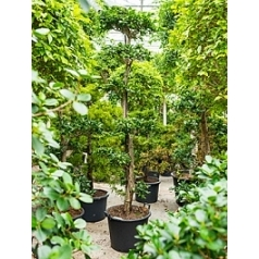 Фикус nitida stem crown Диаметр горшка — 55 см Высота растения — 300 см