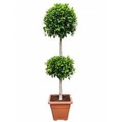 Фикус nitida stem etage 2-boll Диаметр горшка — 43 см Высота растения — 180 см