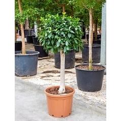 Фикус nitida stem Диаметр горшка — 49 см Высота растения — 160 см