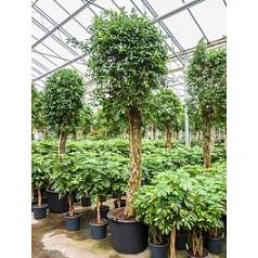 Фикус nitida stem Диаметр горшка — 70 см Высота растения — 400 см