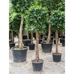 Фикус nitida stem Диаметр горшка — 60 см Высота растения — 275 см