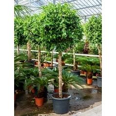 Фикус nitida stem Диаметр горшка — 55 см Высота растения — 250 см