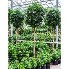 Фикус nitida stem Диаметр горшка — 60 см Высота растения — 300 см