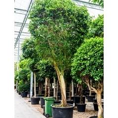 Фикус nitida stem Диаметр горшка — 110 см Высота растения — 575 см