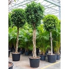 Фикус nitida stem Диаметр горшка — 65 см Высота растения — 400 см