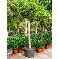 Фикус nitida stem Диаметр горшка — 80 см Высота растения — 350 см