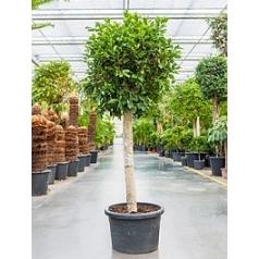 Фикус nitida stem Диаметр горшка — 55 см Высота растения — 200 см
