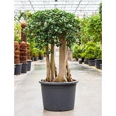 Фикус pa bonsai Диаметр горшка — 65 см Высота растения — 160 см