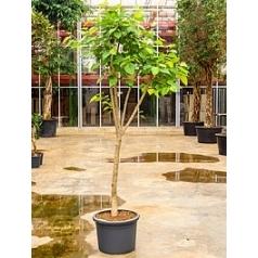 Фикус religiosa (220-275) branched Диаметр горшка — 50 см Высота растения — 250 см